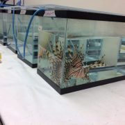 Lionfish can be used to study how oil spills degrade marine ecosystems