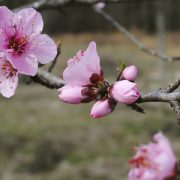 Temperature has become a critical factor for bloom time in peaches, South Carolina's number one fruit crop