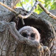 A barred owl peeks through and witnesses an evolving world
